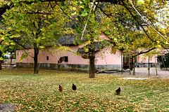 Ginkgo village (MelindaChan ^..^) Tags: china pink autumn plant fall yellow wall leaf ginkgo village guilin mel melinda guangxi 桂林 廣西 chanmelmel melindachan 小平樂 海洋鄉