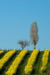 Raps im Wingert (willis | photo) Tags: yellow landscape spring wine rape gelb raps wein frhling
