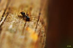 ant-art (gshaun12) Tags: macro art nature animals closeup bokeh insects macrodreams