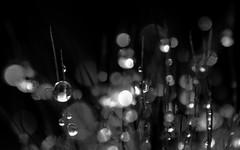Cactus dew (Spannarama) Tags: cactus blackandwhite macro water closeup droplets bokeh spikes waterdroplets hairs