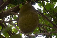 Jack Fruit in Tree (rschnaible) Tags: food usa fruit jack botanical hawaii us tour pacific outdoor farm farming sightseeing maui tourist tropical production tropic touring