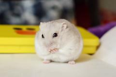 DSC_6311 () Tags: pet animal hamster