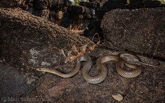 Indo-Chinese Rat Snake (Ptyas korros) (Mattsummerville) Tags: thailand reptile snake wildlife ratsnake colubrid indochinese sakaeo ptyaskorros indochineseratsnake