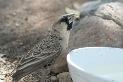 Thirsty (zenseas : )) Tags: africa camping vacation holiday hot drinking weaver namibia thirsty campsite keetmanshoop drinkingwater sociableweaver philetairussocius quivertreeforest