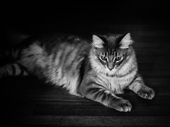 The Little Lion (Kenny Dong) Tags: wood blackandwhite bw pet cats pets cat canon blackwhite kitten floor tabby lion kitty kittens siberian siberianmix