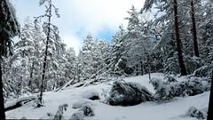Snowy forest between Orajrvi and Ruuhijrvi (Nuuksio national park, Espoo, 20160213) (RainoL) Tags: winter snow tree pine forest espoo finland geotagged nationalpark february fin 2016 uusimaa nyland esbo velskola nuuksionationalpark nuuksionkansallispuisto 201602 vllskog 20160213 geo:lat=6031003215 geo:lon=2457634092