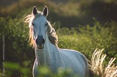 _DSC8679 (Izaias Lus) Tags: brasil caballos photography photographie cavalos equestrian equine nordeste chevaux equino haras equestre garanhunspe