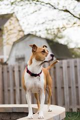 Uzlik_Baylee-1530 (joscie-rae) Tags: dog canine americanpitbullterrier dogportrait mixedbreeddog bullybreed