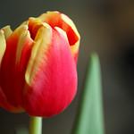 Tulip time I thumbnail
