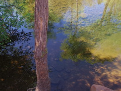 Beaver Creek tree (EllenJo) Tags: pentax sedona az beavercreek springtime digitalimage verdevalley 2016 coconinonationalforest april4 sedonaarizona sedonaarea yavapaicounty ellenjo ellenjoroberts april2016 pentaxqs1