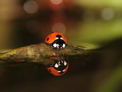 Ladybird (kevinwolves) Tags: macro nature closeup insect nikon wildlife flash sigma ladybird kenko sigma70300mm kenkoteleplus14x nikond300