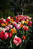Colorful ~ Explore (d_russell) Tags: flowers spring tulip ef24105mmf4 canon5dmarkiii