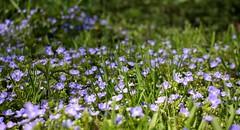 Euphrasy meadow (tillwe) Tags: blue flower green spring freiburg tillwe rieselfeld augentrost euphrasy 201604