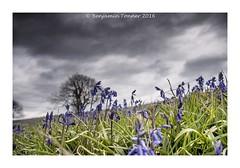 Wroxall Down (frattonparker) Tags: bluebells raw isleofwight nikond90 nikkor18300mmvr capturenx2 colorefexpro4 btonner frattonparker adoberaw9