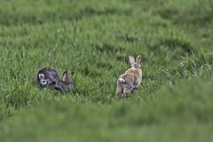 Kaninchen (hardi_630) Tags: rabbit kaninchen europeanrabbit falbe oryctolaguscuniculus wildkaninchen