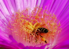 Bee on flower (maria xenou~photodromos~) Tags: life pink sunlight plant flower macro nature colors insect moments mediterranean heart details natur hellas insects diving inner bee makro insekt herz leben farben biene planetearth mittelmeer mittagsblume carpobrotusedulis sonnenlicht inward momente        canoneos1100d