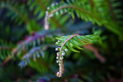 Time to Wake Up (Colormaniac too) Tags: plants fern macro green closeup garden botanical spring olympicpeninsula sequim grace april pacificnorthwest washingtonstate fronds swordfern unfurl uncurl