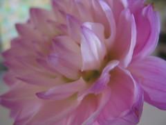 IMG_8665 (mccracken_molly) Tags: pink stilllife plant flower colour losangeles pastel