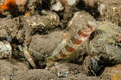 Freckled Shrimp Goby? (Simon Franicevic) Tags: bali tulamben melasti amblyeleotrissp gobyfreckledshrimpgoby