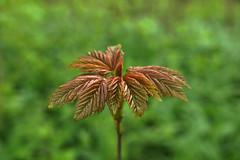 Junger Ahornbaum (ingrid eulenfan) Tags: nature laub natur acer blatt baum ahorn ahornbaum
