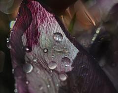 blood in it's veins (pete ware) Tags: plant flower macro photoshop blood nikon petal layers veins blend peteware