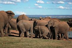 Countdown (crafty1tutu (Ann)) Tags: travel wild holiday elephant animal southafrica free addoelephantpark 2016 anncameron inthewild roamingfree naturethroughthelens canon5dmkiii canon24105lserieslens crafty1tutu naturescarousel