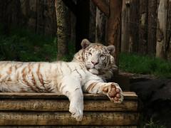 Tigre Blanc (Carahiah) Tags: animal zoo tiger animaux whitetiger empreinte regard patte amnville tigreblanc