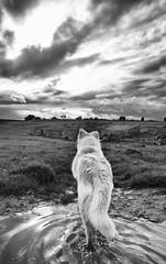 Cuando la loba custodia la tenada (mls2012) Tags: light blackandwhite espaa naturaleza white black blancoynegro luz canon landscape wolf paisaje perro loba charco castillaylen canonphotography