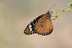 Plain Tiger Butterfly (Ma3eN) Tags: butterfly insect tiger uae plain 2016