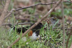Eastern Towhee (Rita Wiskowski) Tags: bird grass wisconsin spring sticks ground hidden sparrow grantpark songbird towhee whitethroatedsparrow redeyes easterntowhee milwaukeecounty southmilwaukee drinkyourtea