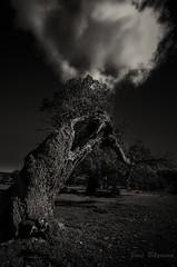 El sueño perturbardo (J. Barrena) Tags: trees sky españa cloud naturaleza tree blancoynegro nature monocromo spain flora árboles cielo árbol nube holmoak encina pedregal