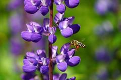 Honeybee among blue lupins. (janrs7) Tags: blue summer flower green norway norge bokeh outdoor july sunny bee wildflower honeybee sonyemount55210mm sonyilc6000