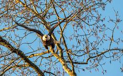 Bald Eagle.... (Kevin Povenz) Tags: tree bird fly spring eagle michigan ottawa flight baldeagle bluesky april soar birdsofprey 2016 westmichigan ottawacounty sigma150500 canon7dmarkii kevinpovenz ottawacountyparks grandravinesnorth