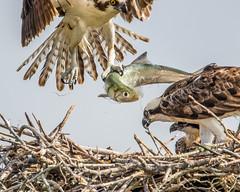 Fish Eye! (Andy Morffew) Tags: fish nest florida fisheye ospreys marcoisland tigertailbeach naturethroughthelens andymorffew morffew