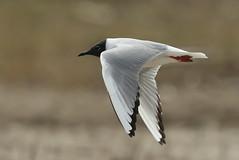 Bonaparte's Gull at Conneaut Sandspit (dibell1214) Tags: birds gulls shorebird conneaut