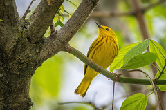 Yellow Warbler (PhillymanPete) Tags: tree green bird philadelphia nature yellow us leaf spring nikon unitedstates pennsylvania wildlife perch philly warbler songbird tinicum yellowwarbler johnheinznwr heinznwr sharonhill d7200