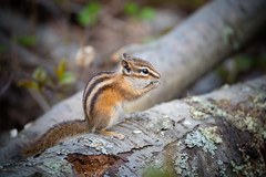Chipmunk on a Log (Kurayba) Tags: park ca canada macro creek moss log edmonton pentax eating sigma apo full chipmunk alberta 400 frame tele ravine f56 mode least ff k1 400mm whitemud