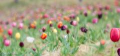 CMJ_3062 (cmj_rnrgrl) Tags: flower lensbaby virginia tulips velvet farms haymarket 56 burnside