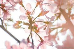DSC_8541 (Frankie Tseng ()) Tags: park pink flowers sunset sky bw flower silhouette photography 50mm blackwhite nikon outdoor flash sunny tokina cherryblossoms fade nikkor 70300mm tamron 90mm f8 1224mm f28 f4 1870mm bwphotography blackwhitephotography portraitphotography outdoorportrait sb900 yongnuo outdoorportraitphotography yn568