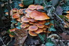 Flammulina velutipes IV (Marcell Kárpáti) Tags: autumn winter orange mushroom flora hungary bright fungi fungus shroom sopron magyarország enoki agaricales flammulinavelutipes velvetstem marasmiaceae wintermushroom velvetfoot télifülőke collybiavelutipes