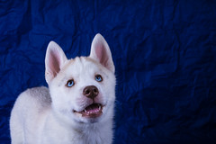 Husky puppy (mouse_adikatz) Tags: blue winter dog baby pets white color cute beautiful animal animals alaska puppy studio mammal one eyes husky sitting looking view shot background small gray young canine front domestic malamute backgrounds siberian purebred