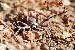 Eusparassus dufouri (Mathias Dezetter) Tags: wild naturaleza nature animal fauna spider desert wildlife arachnid sable morocco maroc terrestre sec animaux chaud araigne faune arachnide prdateur sparassidae arthropode aride dufouri aranomorphe invertb