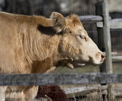 Big Bull (watts_photos) Tags: brown male animal canon mammal outdoors cow big cattle outdoor bull mature breeding 400 steer ungulate bovine carnivore domesticated 400mm castrated