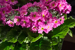 Flowers and Buds (nak.viognier) Tags: flower buds   leicadgmacroelmarit45mmf28 olympusepl3