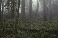 Fern Gully (gwendolyn.allsop) Tags: trees fern nature fog oregon forest