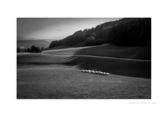 countryside 05 [cows and aliens] (MvMiddendorf) Tags: bw mountains germany landscape cows hills hay blackforest mariovanmiddendorf