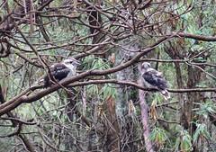 20160125-IMGP6277 (timhughes) Tags: january tasmania hobart tassie mtwellington ferntree mountwellington 2016