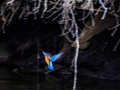 Martin-pcheur d'Europe (Alcedo atthis) (yann.dimauro) Tags: france animal fr extrieur oiseau rhone rhnealpes givors ornithologie