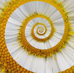Daisy in a  Spiral (ClaraDon) Tags: photoshop droste pixelbender