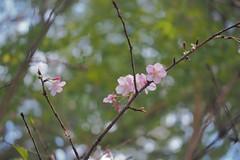 P2103900 (deception.tw) Tags: leica flower hsinchu taiwan olympus panasonic   45mm omd  em5  hsinchucity leicadgmacroelmarit12845